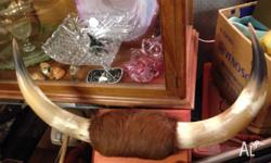 Vintage Steer Horns & Skin on Timber Plaque, perfect