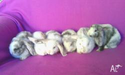 Hi, i have 6 adorable purebred dwarf lops ready for