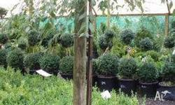 Weeping Evergreen Alder Stays evergreen all year