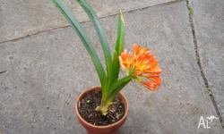 Now is the time to plant your Clivias for next year�s