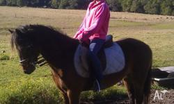 Levi is a 12.2hh welsh x australian riding pony, he is
