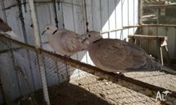 6 doves for sale, pair plus 4 young $25 the lot or $5