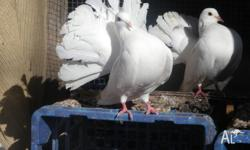 birds Classifieds - Buy & Sell birds across Australia page