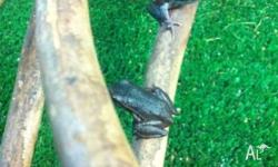 We have White Lip tree Frogs for sale for $29.95 each,