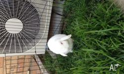 Very friendly, calm adult male lop-eared rabbit. Fully