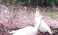 1 pair of pure white peacocks male just over 1 year old