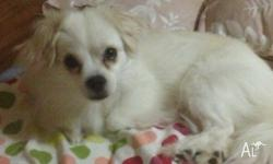White Pomeranian male, well groomed and nice with