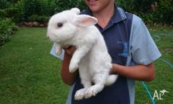 Moving to Qld and sadly unable to take Kevin the rabbit