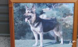 Wooden Framed German Shepherd Print 58cm wide, 47.5cm