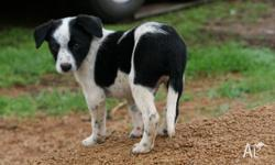 Purebred Working Border Collie Puppies from successful