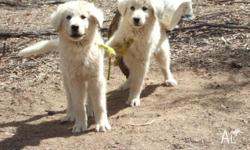 maremma pups, woking breed and large mum and dad. mum