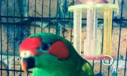 Male musk lorikeet Needs tlc But still steps up on your