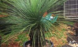 The Xanthorrhoea or commonly known as the Black Boy is