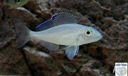 Xenotilapia spilopterus Kachese Sandsifter Cichlid from
