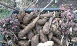 $20 for 5 divided rhizome or 1(or 2) dormant rhizome