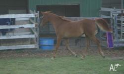 high percentage partbred filly, yearling to mature