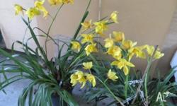 Beautiful flowering Yellow & Green Orchids are