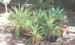 Yellow & Green Variagated AGAVE Various sizes small