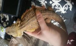 Healthy young bearded dragon. Used to being handled,