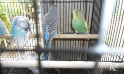 I have for sale a number of young budgies about 1 mth