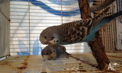 2 young blue budgies for sale shown in picture. Male