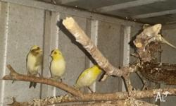 We have 4 canaries from this season left for sale.