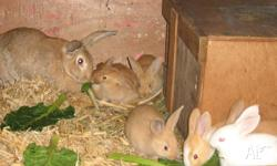 Young Rabbits For Sale