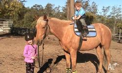 14.3hh palomino, 5 yr old AHSA reg mare, also eligible