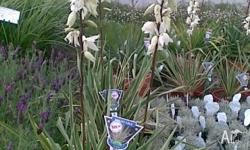 Yucca Bright Edge flowering variety available in 25cm