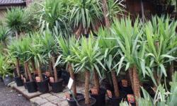 Yucca Canes Suitable for most areas easy to look