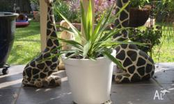 Healthy yucca in attractive white concrete pot. The