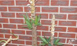 Yucca Plant with Shoots 1m Stems RRP $70-$80 I have Two