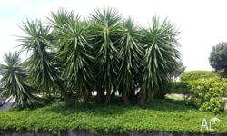 Yuccas are a very popular plant for landscaping in the