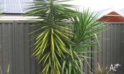 Hi I have Yucca Plants for sale. Sell for $40each if