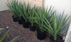 I have some Yucca plants available. List of sizes and