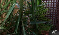 Total of 9 Yucca Plants in Terracotta Pots for sale-