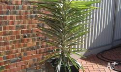 VARIEGATED YUCCA BEAUTIFUL AND WELL ESTABLISHED - IS 2