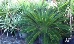 Yuccas & Cycads from $10 some large ones available