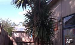 Mature Yukka Tree, approx 4-5m high Removal is the